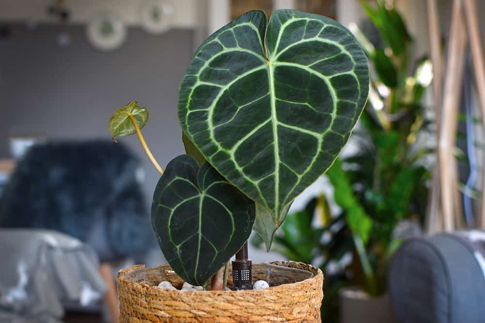 Anthurium Clarinverium: The 1 secret you need to know about growing them
