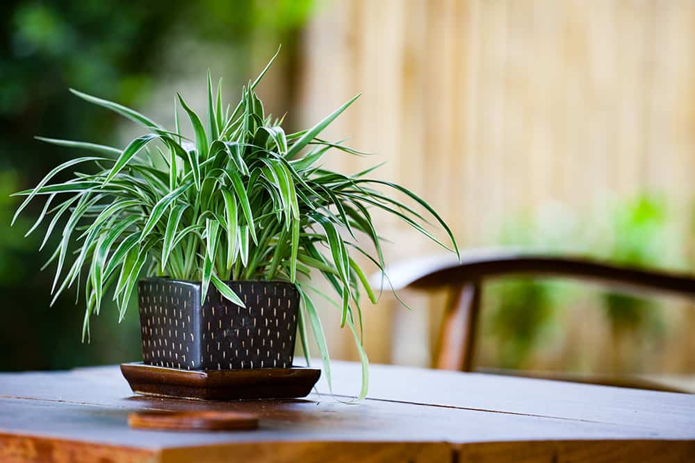 How to fix common issues with your spider plant