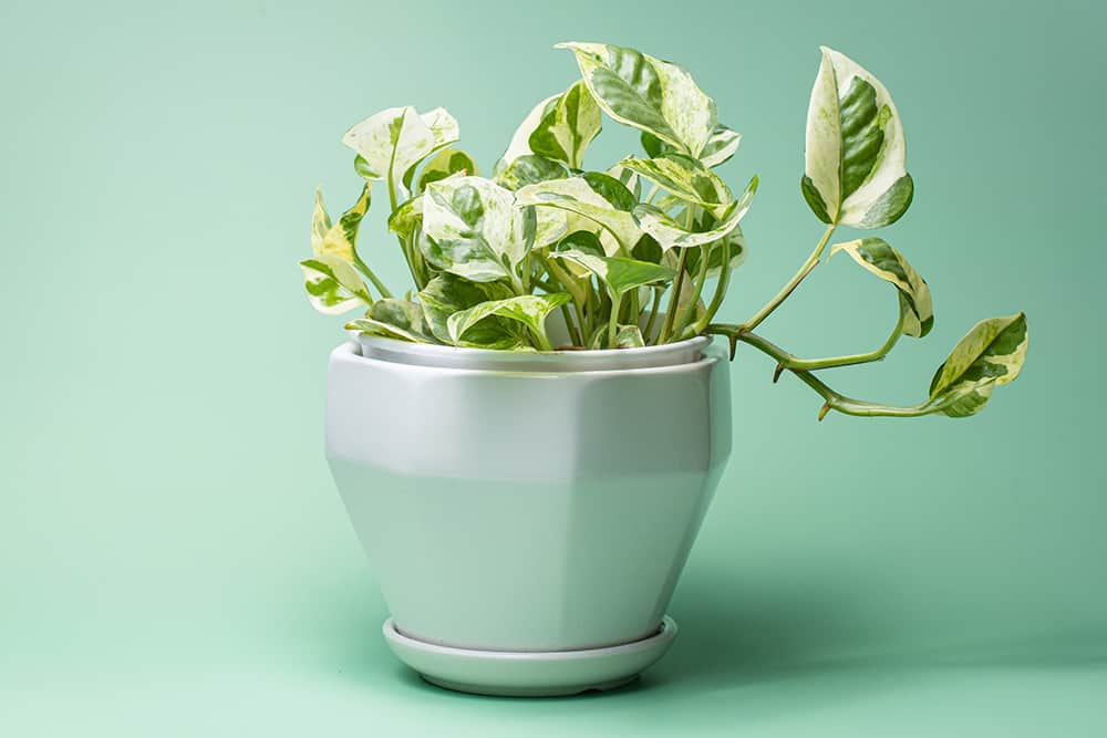 Pothos N Joy Care and growing tips