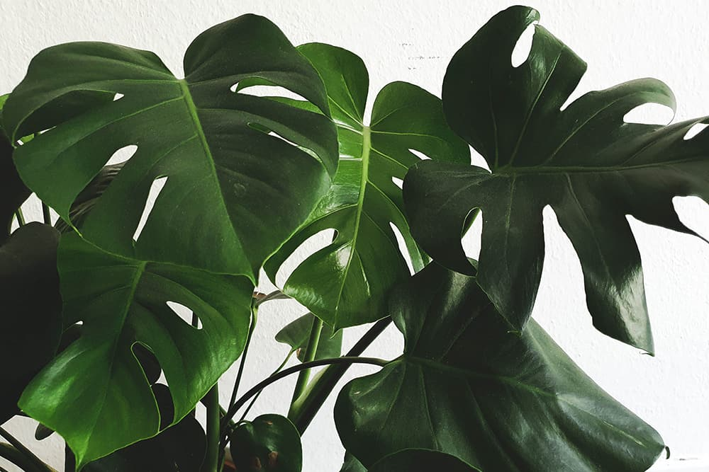 What To Do If Your Monstera Leaves Wont' Split
